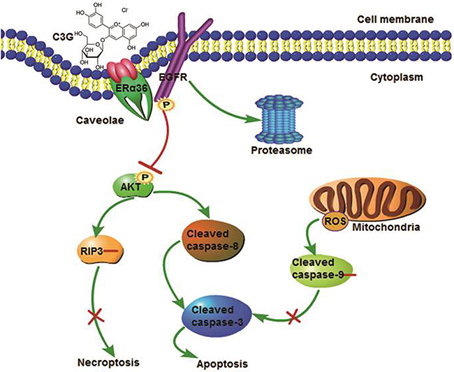 Putative mechanisms of the effects of Cy-3-glu action in the prevention of TNBC.