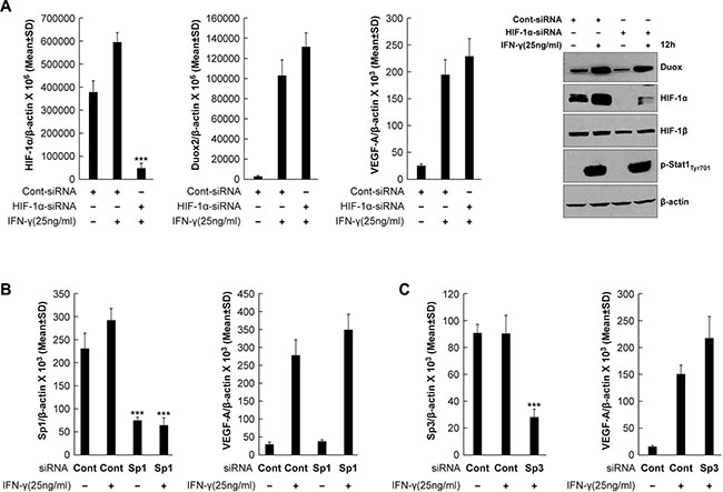 Transcriptional silencing of HIF-1α, Sp1, or Sp3 does not affect VEGF-A expression in IFN-γ-stimulated BxPC-3 cells.