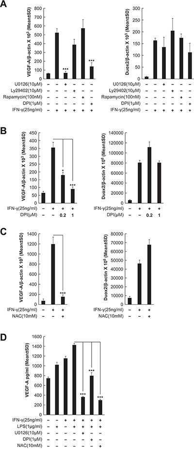 IFN-γ-induced VEGF-A mRNA and protein expression is DUOX2-, H2O2-, and ERK-dependent in BxPC-3 cells.