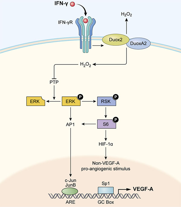 Model illustrating how IFN-γ-induced DUOX2 expression and H2O2 production stimulate HIF-1α, JunB, and c-Jun expression and subsequent VEGF-A up-regulation in BxPC-3 cells.