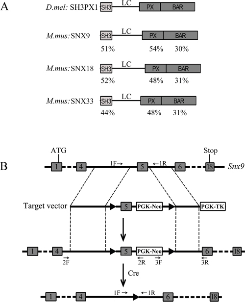 Strategy for generation of Snx9 knockout mice.