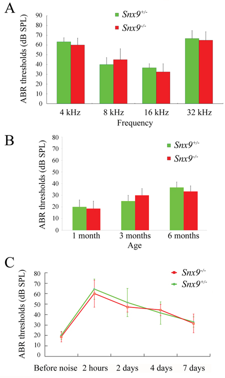Auditory brainstem response (ABR) measurements show normal auditory function of Snx9 knockout mice.