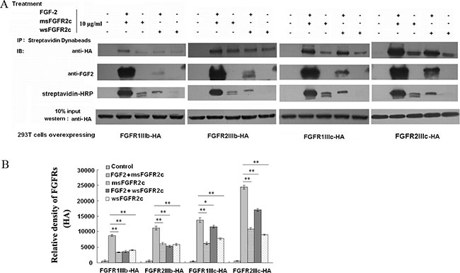 Analysis of the interaction between sFGFR2c and membrane-bound FGFRs by co-immunoprecipitation.