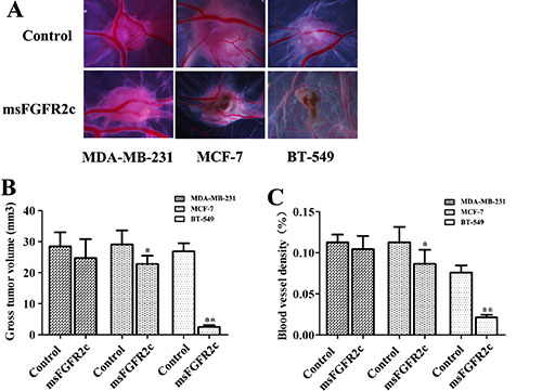Inhibition of msFGFR2c on the growth and angiogenesis of xenograft tumors implanted by BT549, MCF-7 and MDA-MB-231 cells in CAM.