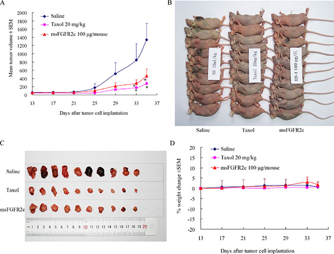 Effects of msFGFR2c on lung cancer growth in lung cancer xenograft model.