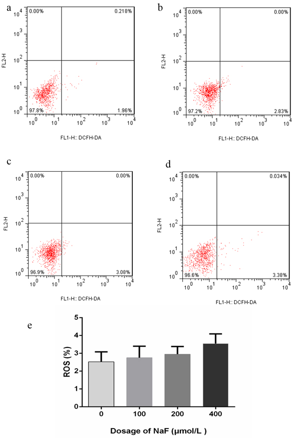 Effect of NaF on ROS generation at 24 h.