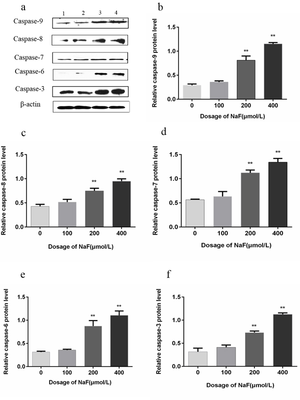 Effect of NaF treatment on protein expression levels of caspase-9, -8, -7, -6 and -3 in cultured splenic lymphocytes at 24 h.