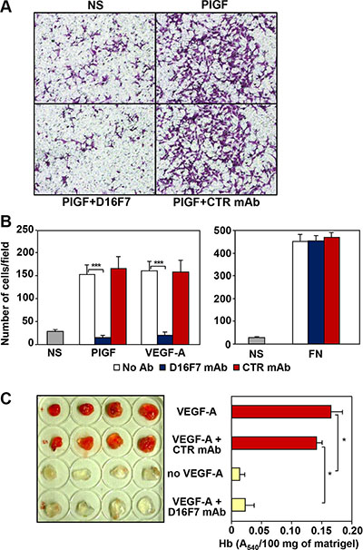 Effects of D16F7 mAb on endothelial cells.