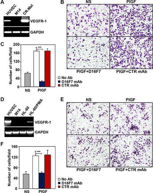 D16F7 mAb inhibits the migration of human melanoma and myelomonocytic cells that express VEGFR-1 in response to PlGF.