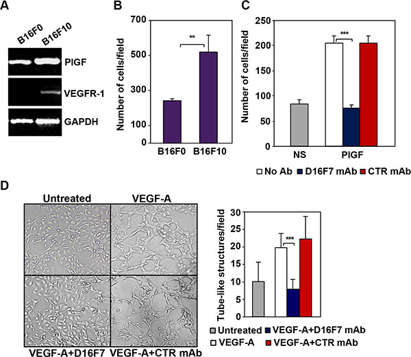 D16F7 inhibits migration and vasculogenic mimicry of murine melanoma cells.