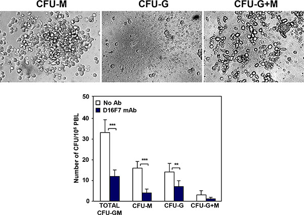 Treatment with D16F7 mAb decreases the number of myeloid progenitor cells in mice peripheral blood.