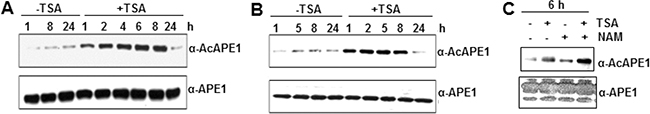 Effect of classical HDAC inhibitor TSA and non-classical deacetylase inhibitor NAM on APE1 acetylation in cells.