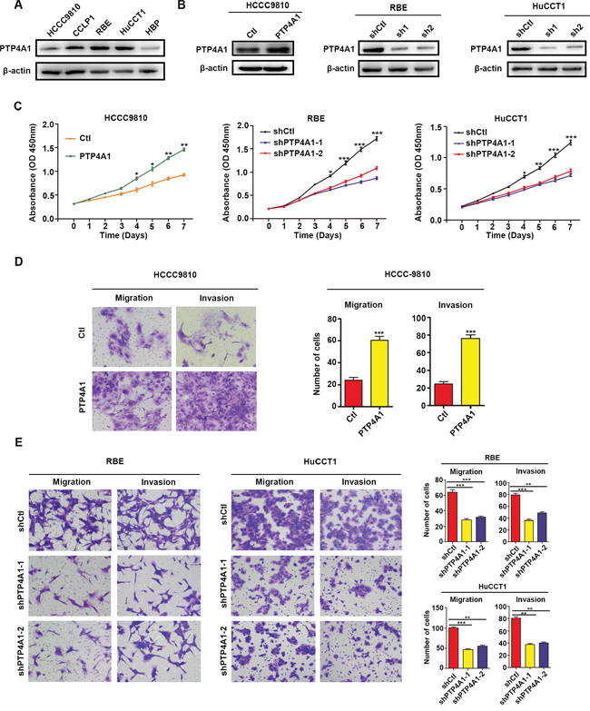 PTP4A1 promotes ICC cell proliferation, colony formation and invasion in vitro.