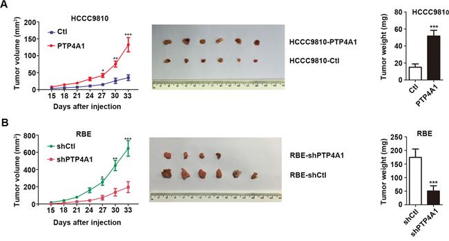 PTP4A1 promotes ICC progression in vivo.