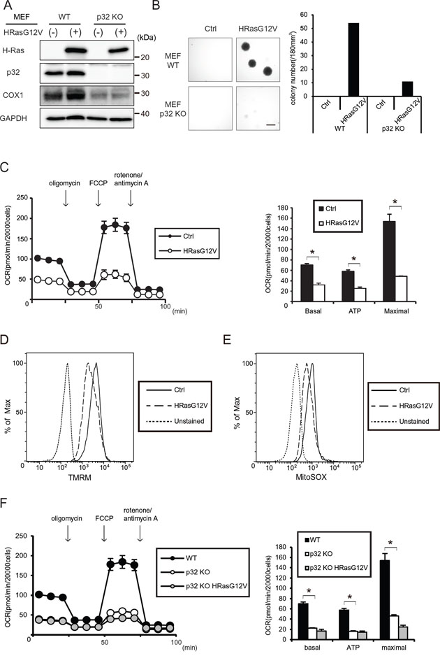 Tumorigenesis and mitochondrial respiratory function of HRASG12V-expressing wild type (WT) and p32 knockout (KO) MEF cells.