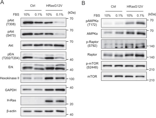 Signal transduction of wild type HRAS and HRASG12V-expressing MEF cells under serum-depleted conditions.