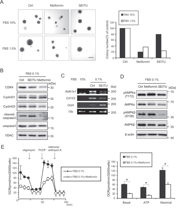 Suppression of anchorage-independent growth effect of SEITU and metformin on HRASG12V-expressing MEF cells.