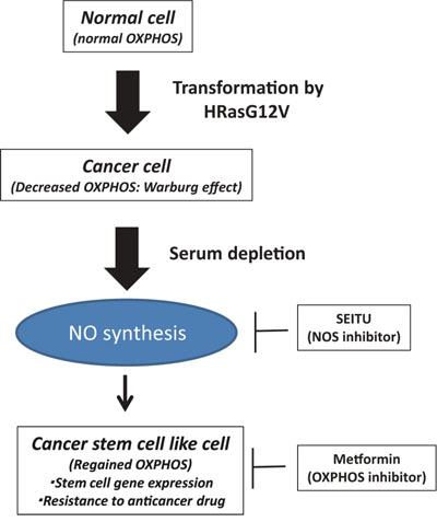 Serum depletion induced NO synthesis and CSC features.