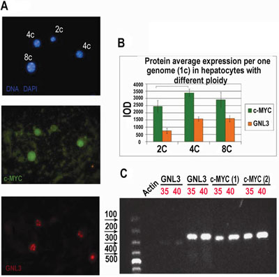 Immunofluorescent and RT-PCR study of polyploid versus diploid hepatocytes in mice.
