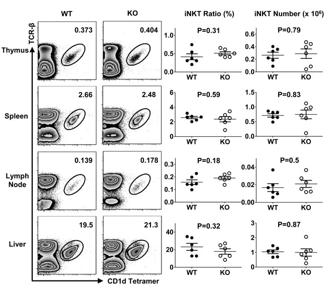 TIM-4 is not required for iNKT cell development.