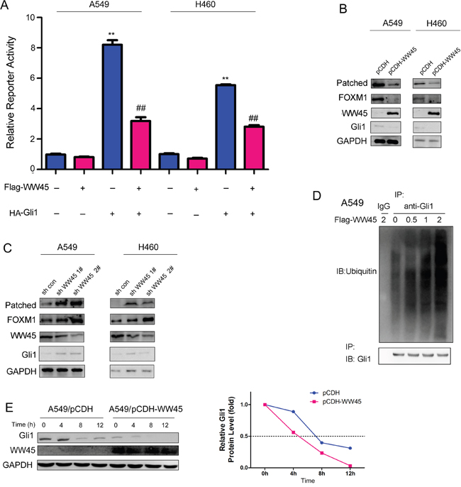 WW45 inhibited the activation of Hedgehog signaling.