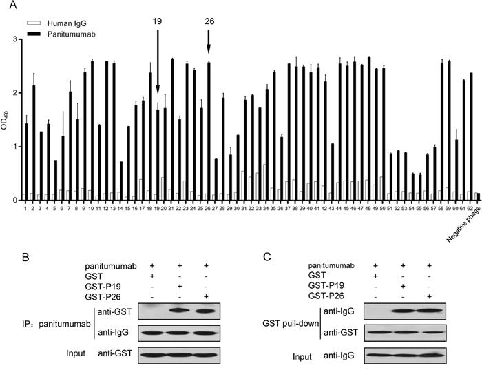 Selection of mimotopes from phage display peptide library on panitumumab.