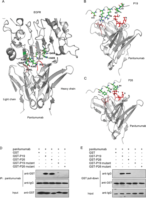 Three-dimensional models of the EGFR-panitumumab and mimotope-panitumumab complex and determination of functional amino acides in peptides.