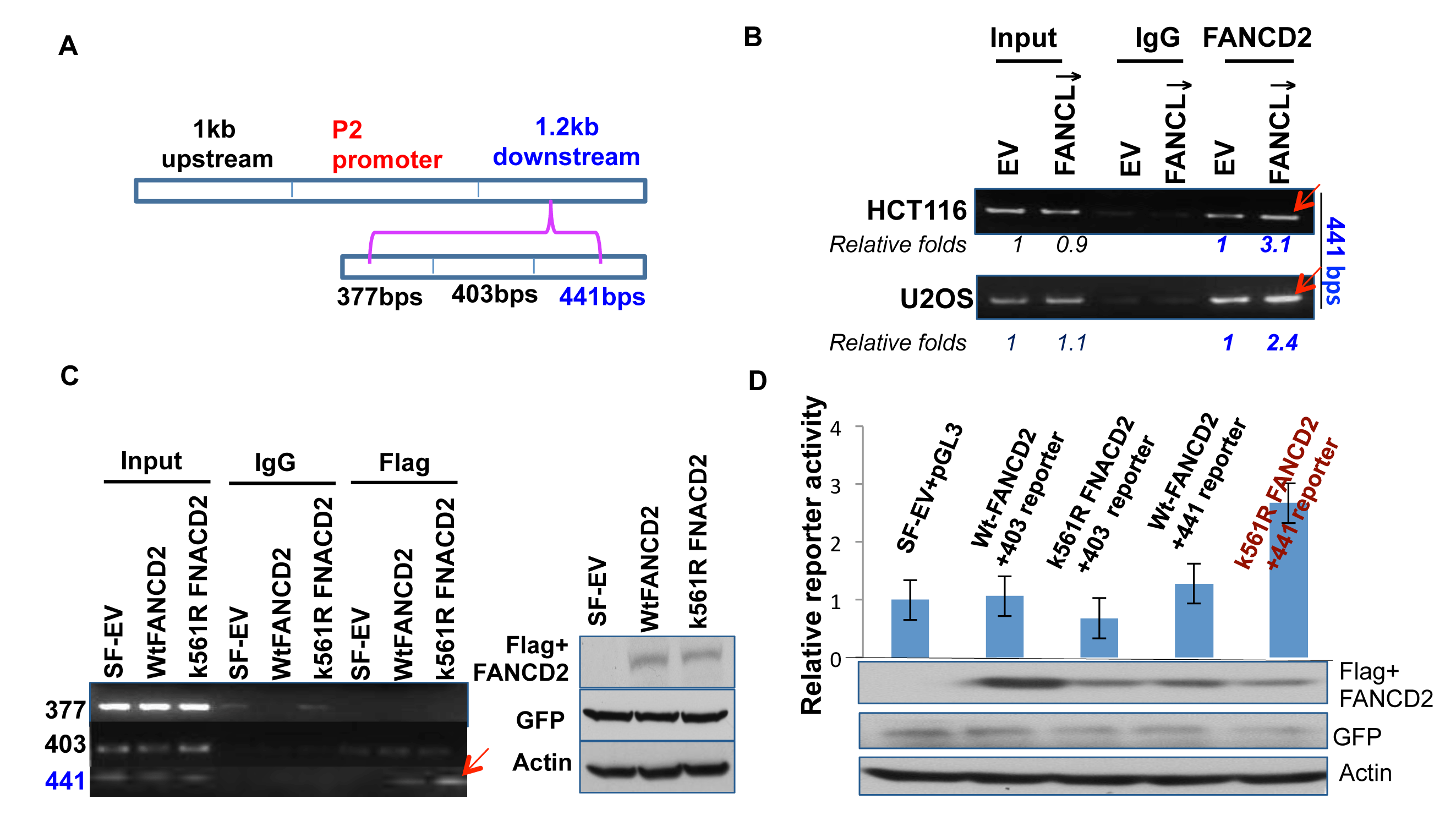 A 441bp DNA sequence within the 1.2kb fragemtn can mediate the regulation of ∆Np63 expression by inactivated FANCD2.