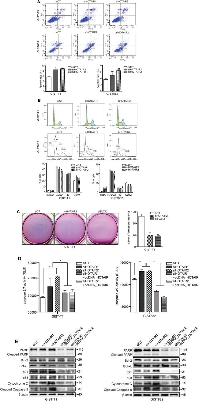 siHOTAIRs induce apoptosis and cell cycle arrest.