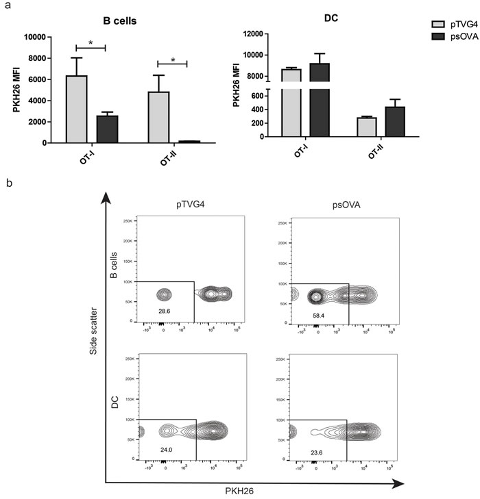 Mouse B cells, and not dendritic cells, are able to expand antigen specific CD4 and CD8 T cells following DNA stimulation.