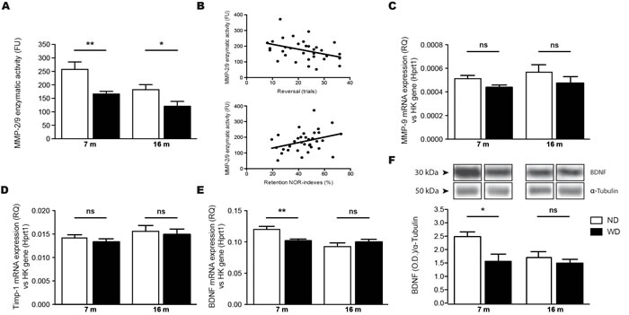 WD exacerbates age-associated decrease of MMP-9 enzymatic activity and reduces BDNF mRNA and protein levels in the brain.