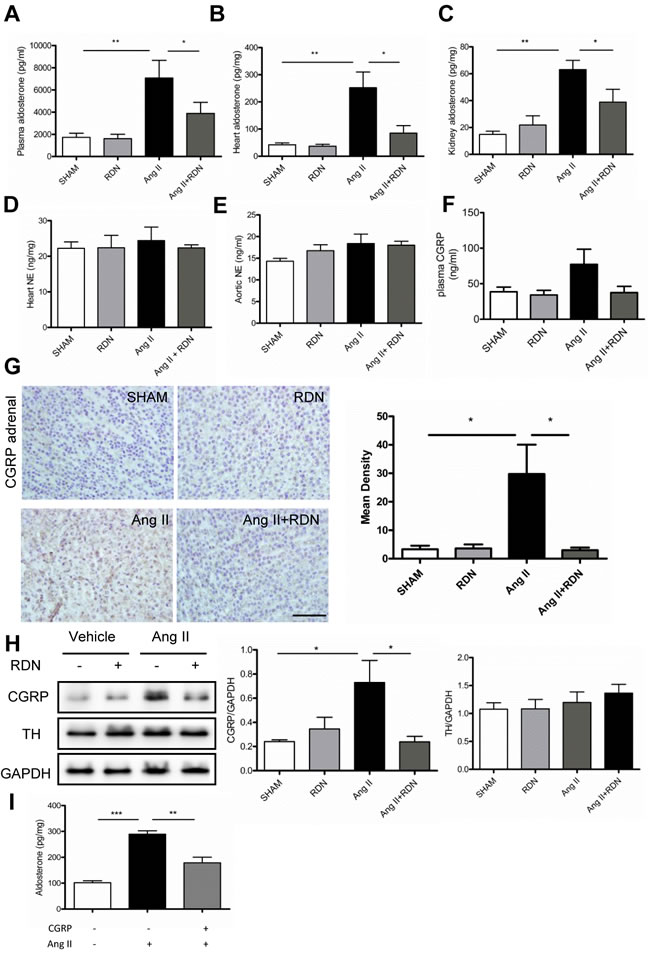Effect of RDN on the level of Aldosterone and underlying regulatory mechanism.