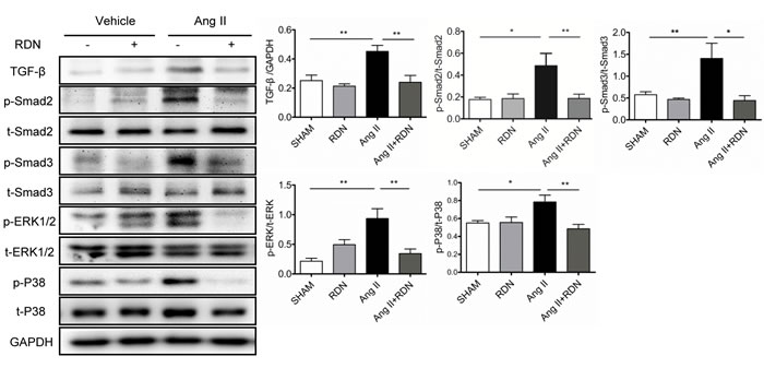 Suppression of TGF-β-Smad2/3 and MAPKs in RDN rats with Ang II stimulation.