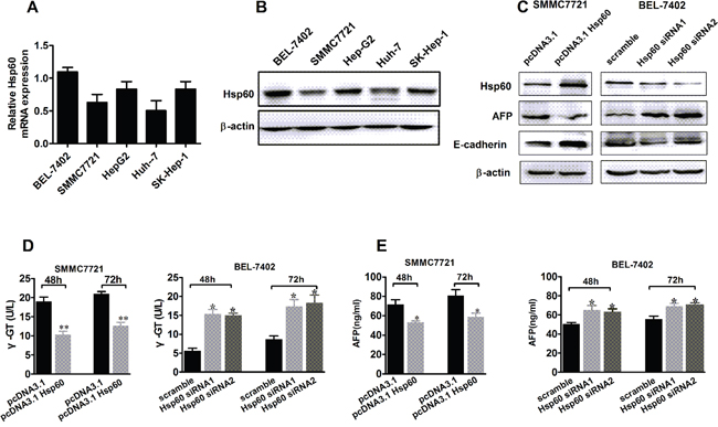 Hsp60 promotes the differentiation of HCC cells.