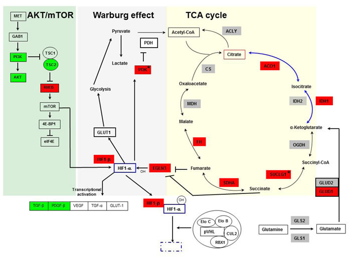 Pathways showing involvement of TCA cycle, Warburg effect, AKT-mTOR (yellow, gray and green background, respectively), and HIF in