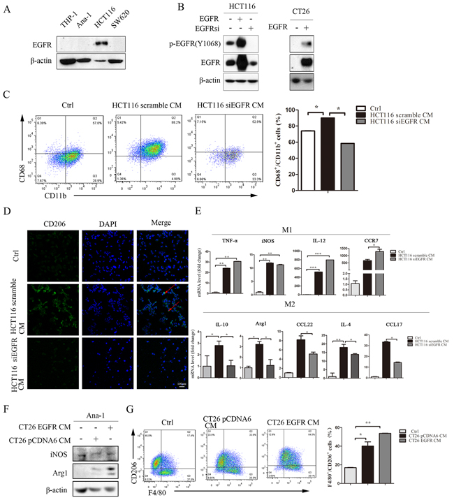 Inhibition of the EGFR signaling pathway in colon cancer cells prevents conditioned medium-induced M2-like macrophage polarization.