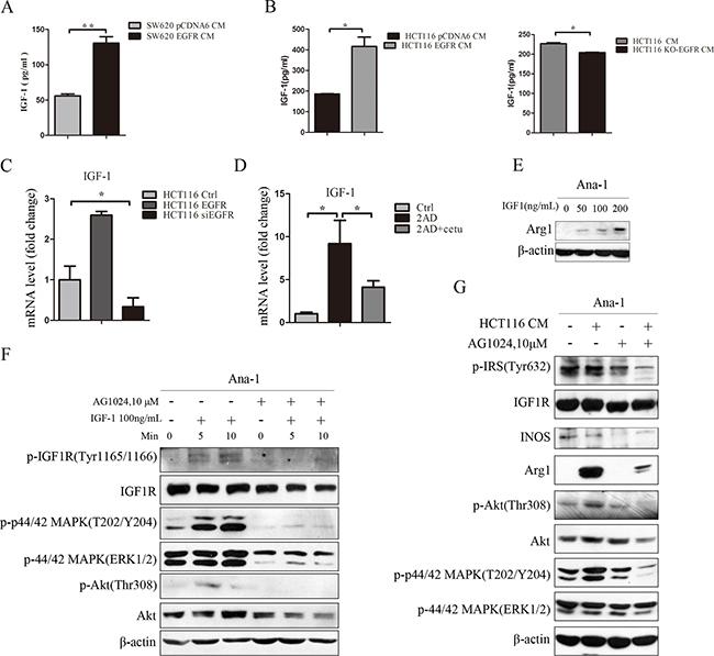 Colon cancer-derived IGF-1 promotes M2-like macrophage polarization.