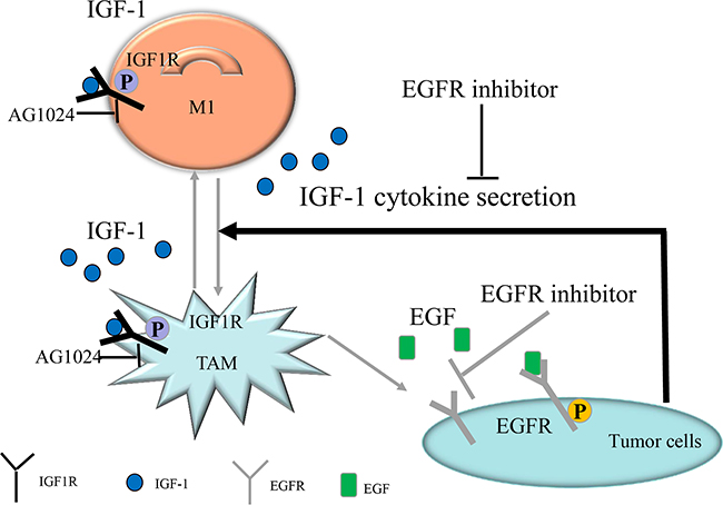 Diagrammatic model of EGFR pathway-modulated macrophage polarization in colon cancer.
