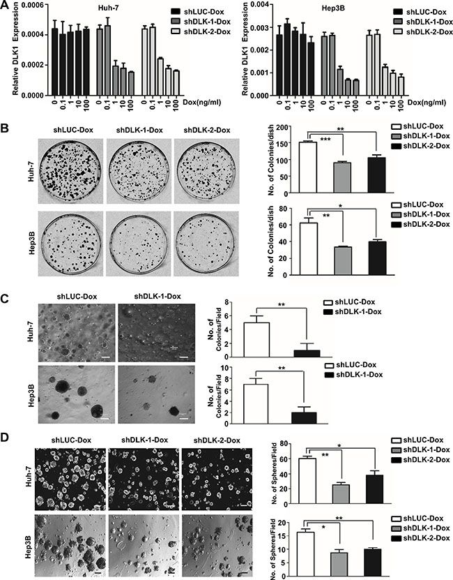 The inducible DLK1 knockdown can inhibit proliferation and colony formation of HCC cells.