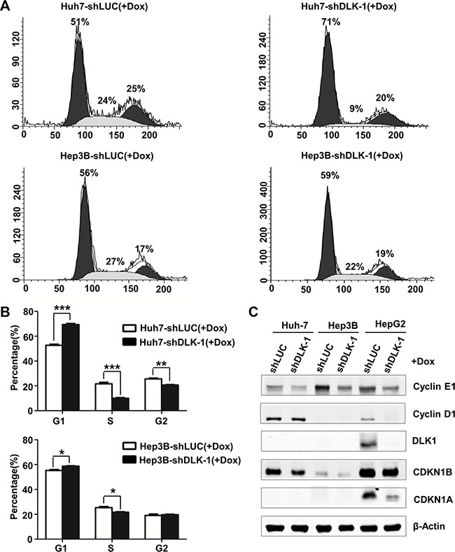 DLK1 downregulation induces an S phase arrest in human HCC cells.