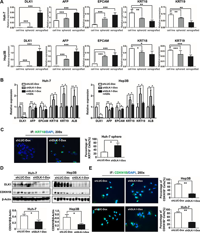 Inducible downregulation of DLK1 promotes cell differentiation of HCC.