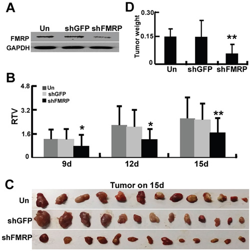 FMRP promotes growth of astrocytoma xenografts in vivo.