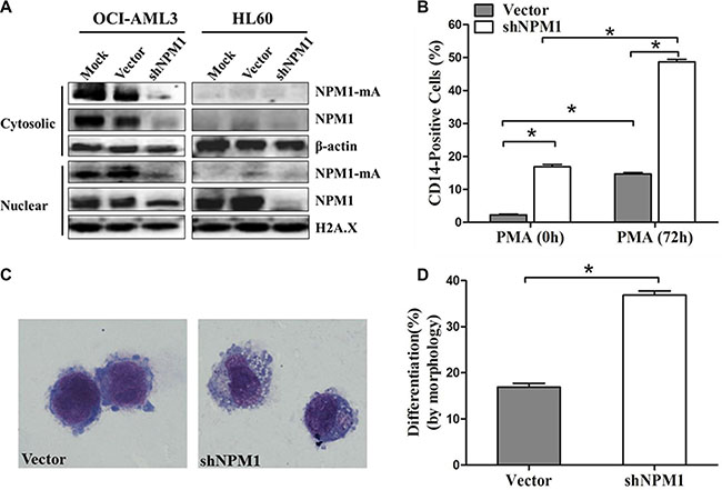 Knockdown of NPM1-mA enhances myeloid differentiation of OCI-AML3 cells.