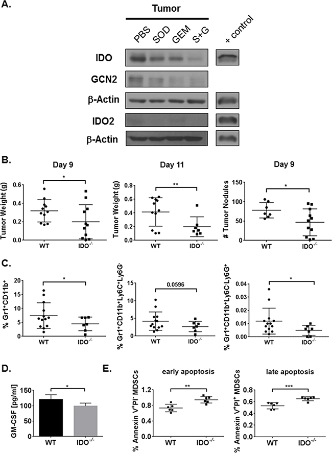Combination therapy reduces tumor IDO expression and IDO deficiency inhibits tumor burden along with MDSC infiltration and survival in the TME.