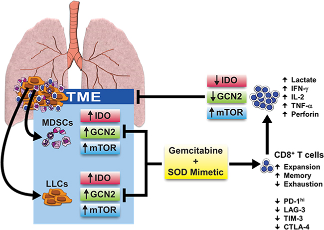 Effects of combination therapy on cellular signaling pathways and metabolic reprogramming in the TME.