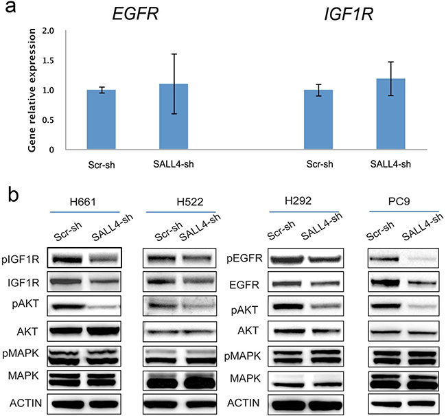 SALL4 affects EGFR and IGF1R signaling pathways indirectly.