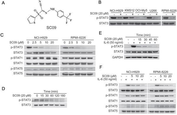 SC09 inhibits STAT3 activation.