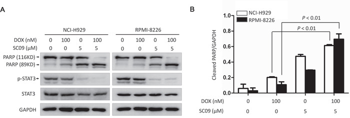 SC09 enhances DOX-induced cell apoptosis in MM.
