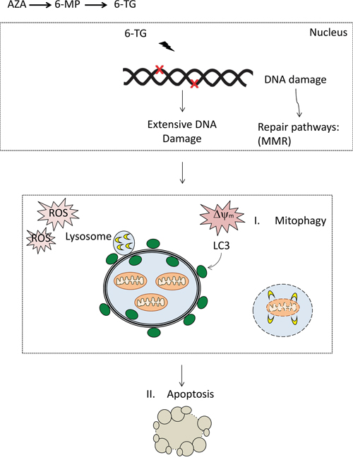 DNA damage by thiopurines accumulates, resulting in the activation of repair pathways including mismatch repair (MMR).