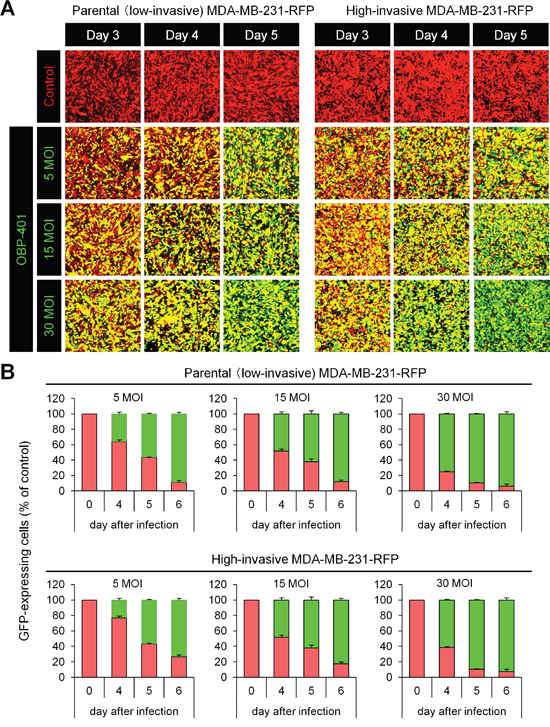 OBP-401 labels low- and high-invasive MDA-MB-231-RFP breast cancer cells in vitro.